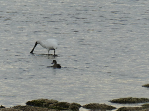 Royal Spoonbill